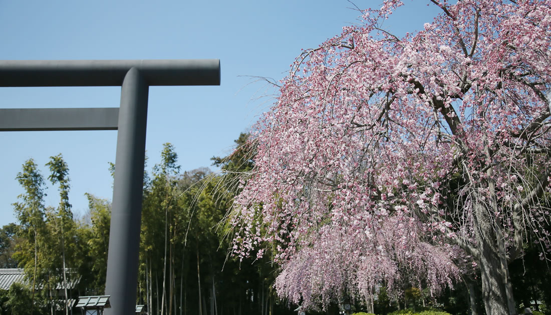 櫻の宮に詣づれば大神の恵みいただき大願開花